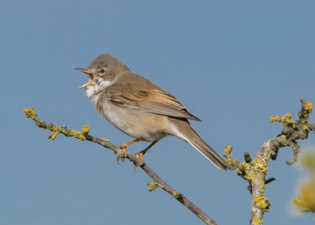 Whitethroat by Gareth Rees - April 27th, Lower Pennington