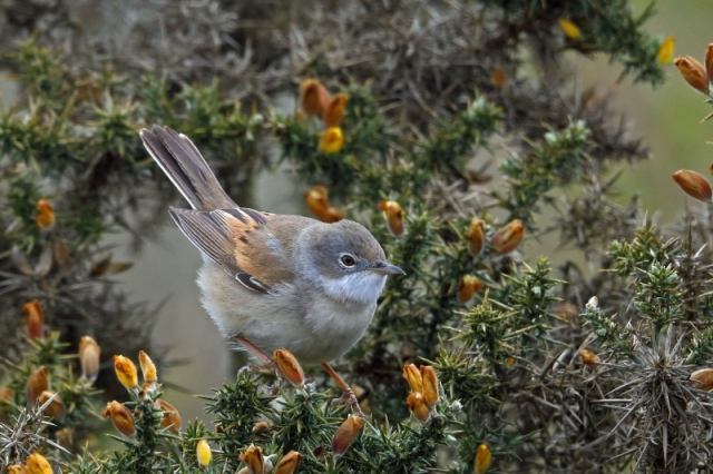 Whitethroat by Richard Jacobs - April 29th, Casbrook Common