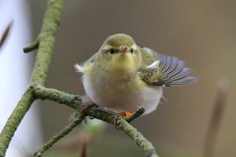 Wood Warbler, N.Forest 3rd May A.Tew