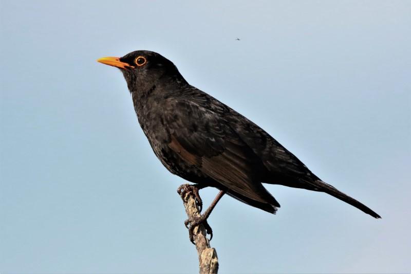 Blackbird Romsey 1st June A.Tew