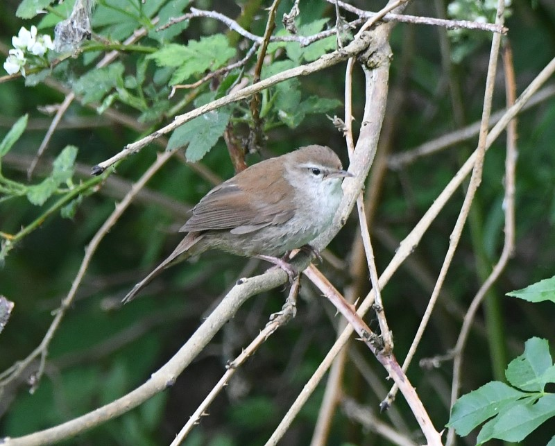 Cetti's Warbler by Dave Levy, 08.06.21 Fishlake Meadows