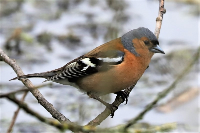 Chaffinch by Brian Cartwright 22nd May Anton Lake