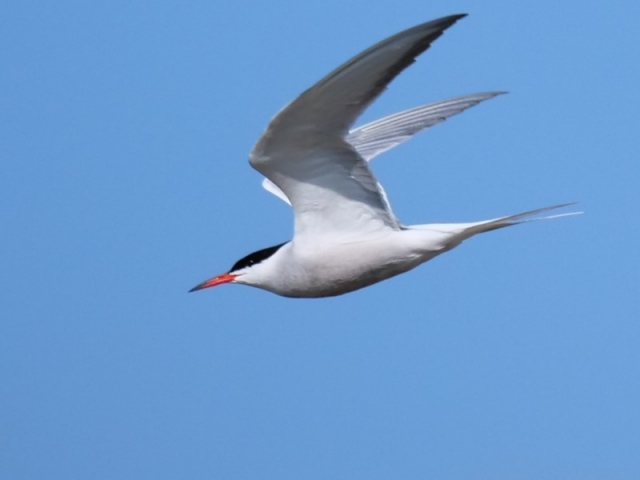 Common Tern by Rob Porter - June 8th, Normandy Marsh