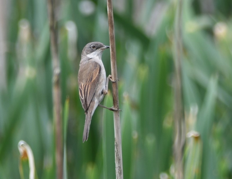 Common Whitethroat by Dave Levy 08.06.21 Fishlake Meadows