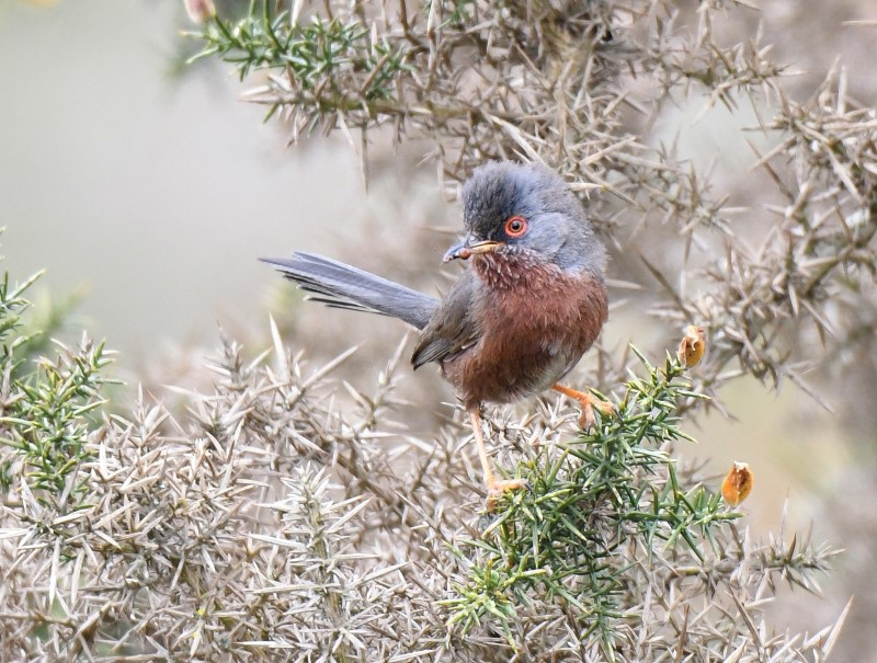Dartford Warbler by Dave Levy ,26th March 2021 Pamber