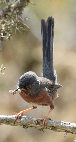 Dartford Warbler by Peter Hyde - May 19th, Hamble Common