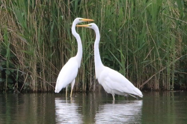 Great White Egret by Mike Duffy - June 7th, Fishlake Meadows
