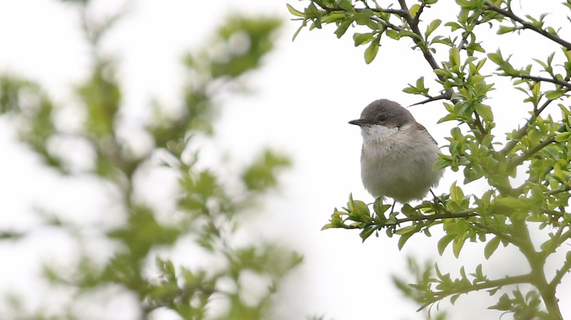 Lesser Whitethroat - 22nd May Martin Down C Rose