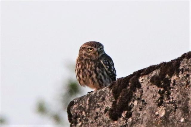 Little Owl Boarhunt 30th May A.Tew
