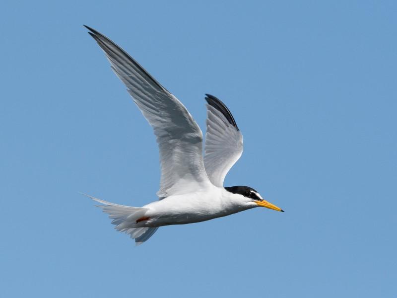 Little Tern by Gareth Rees - June 1st, Pennington Marsh