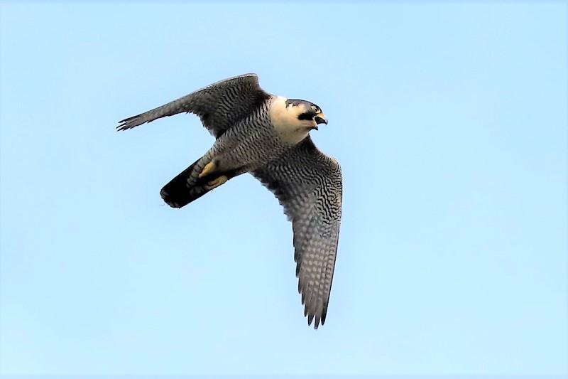 Peregrine Falcon by Brian Cartwright 29th May Andover