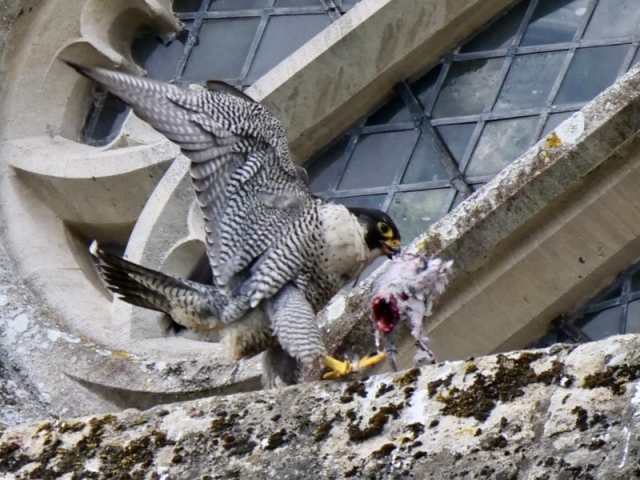 Peregrine by Rob Porter-May 29th, Winchester