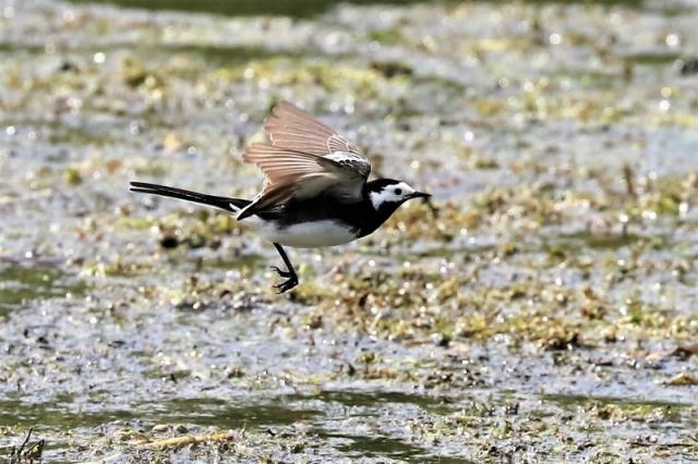 Pied Wagtail by Brian Cartwright 25th May Anton Lake
