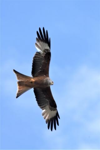 Red Kite by Brian Cartwright 2nd June Anton Lake