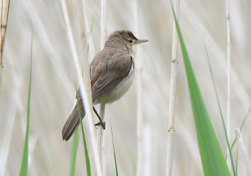 Reed Warbler by Dave Levy 6th June 2021 Greywell Moors