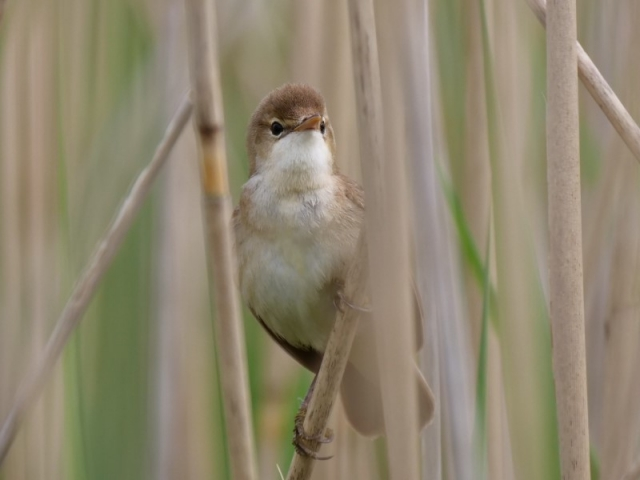 Reed Warbler by Rob Porter-May 29th, Shawford