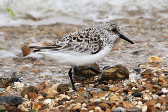 Sanderling 22nd May Titchfield A.Tew