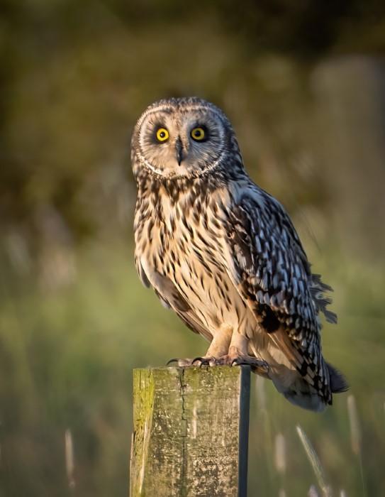 Short Eared owl @ Titchfield Gaven 27may21 by Steve Payce