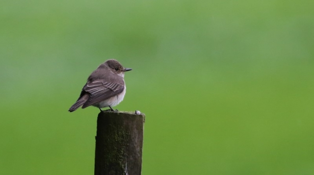 Spotted Flycatcher - 22nd May Martin Down C Rose