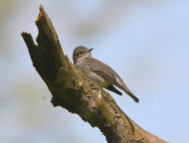 Spotted Flycatcher by Dave Levy 29th May 2021 ,Walkers Copse ,Dummer