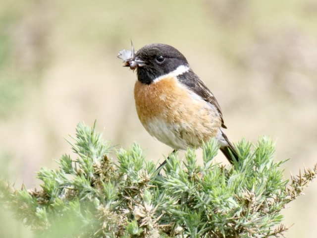 Stonechat by Rob Porter - June 8th, Normandy Marsh