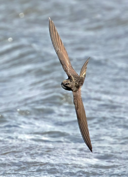 Swift @ Fort Gilkicker 25May21 by Steve Payce