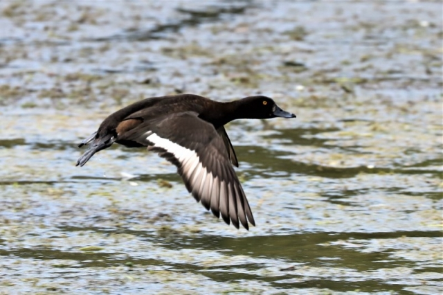 Tufted Duck by Brian Cartwright 25th May Anton Lake