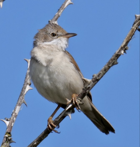 Whitethroat by Rob Porter - June 8th, Normandy Marsh