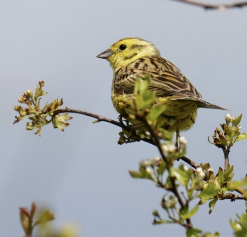 Yellowhammer by Rob Porter-May 26th, Martin Down