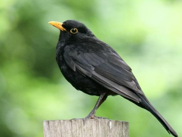 Blackbird by Rob Porter by Rob Porter - July 7th, Fishlake Meadows