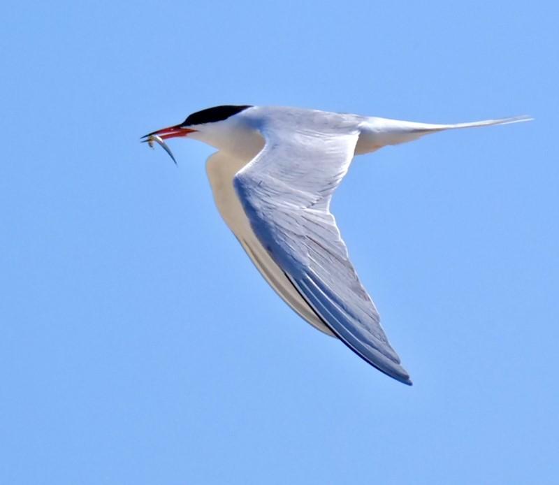 Common Tern by Rob Porter - July 16th, Hillhead