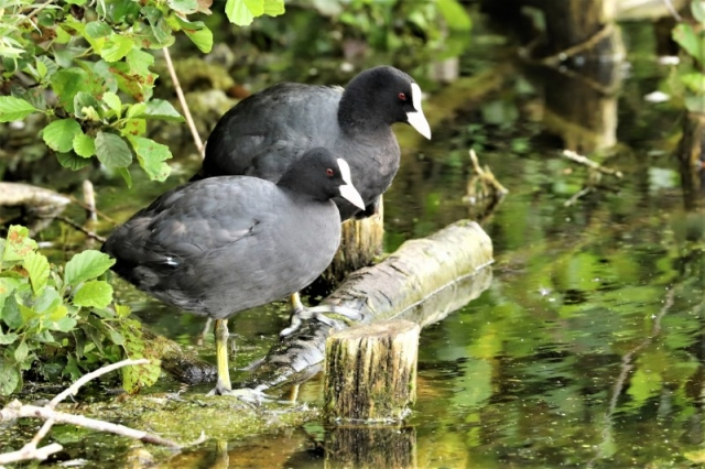 Coots by Brian Cartwright 13th July Anton Lake