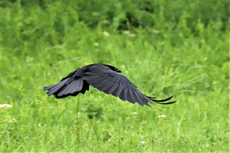 Crow by Brian Cartwright 15th July Anton Lake