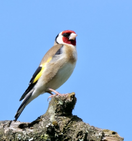 Goldfinch by Rob Porter-July 7th, Fishlake Meadows