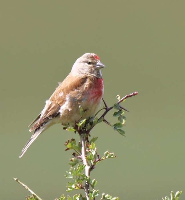 Linnet by Rob Porter-July 13th, Old Whinchester Hill