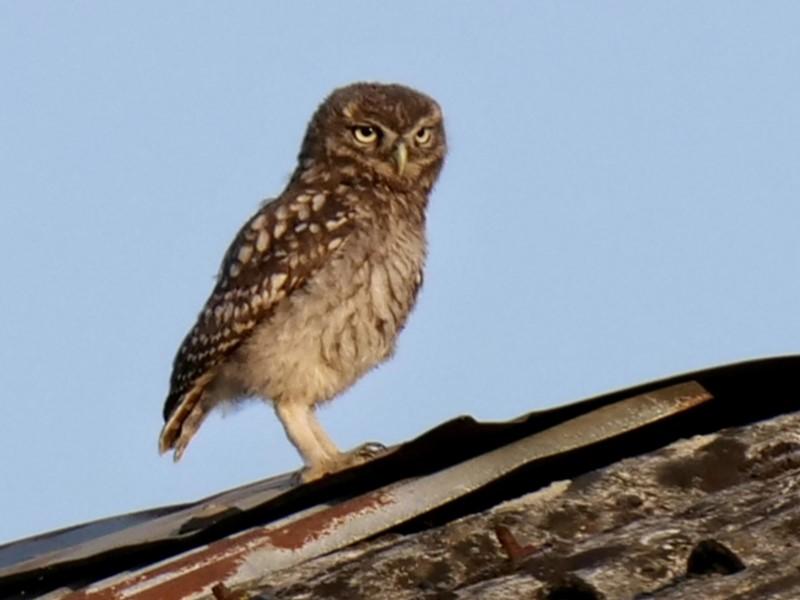 Little Owl by Rob Porter-July 22nd, Stubbington