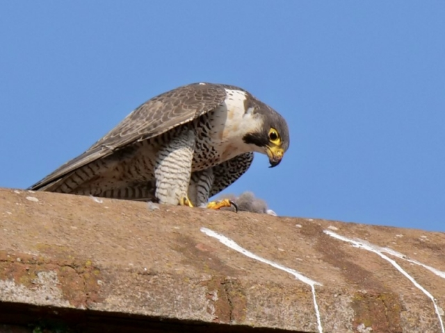 Peregrine by Rob Porter-July 21st, New Milton