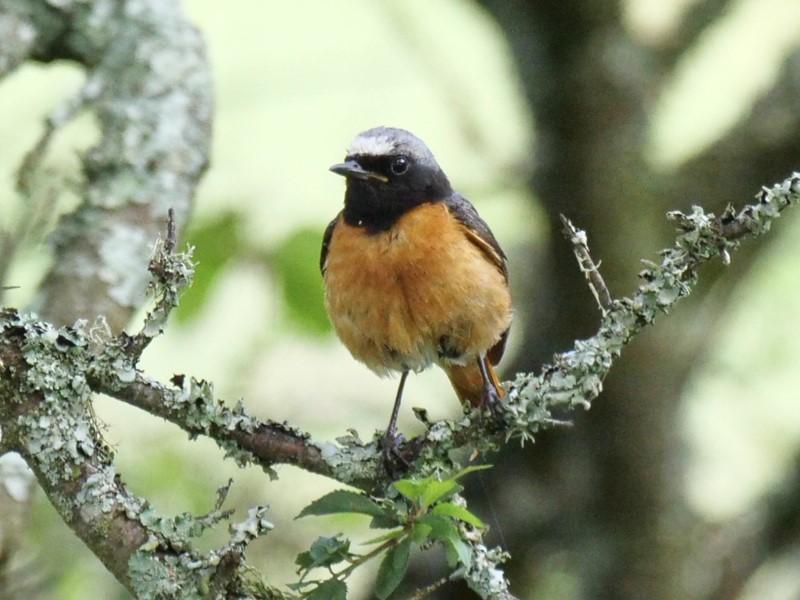 Redstart by Rob Porter-July 3rd, Latchmore Bottom, NF