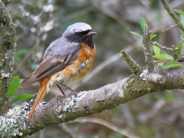 Redstart by Rob Porter-July 9th, Latchmore Bottom, NF