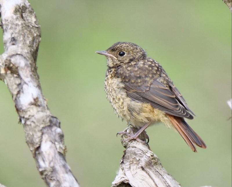 Redstart (juv) by Rob Porter-July 4th, Latchmore Bottom, NF