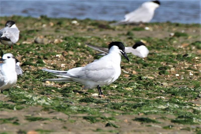 Sandwich Tern 22nd July Titchfield A.Tew