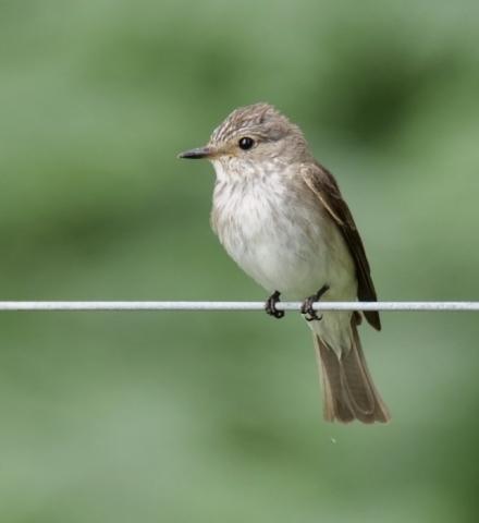 Spotted Flycatcher by Rob Porter - Latchmore Bottom, NF