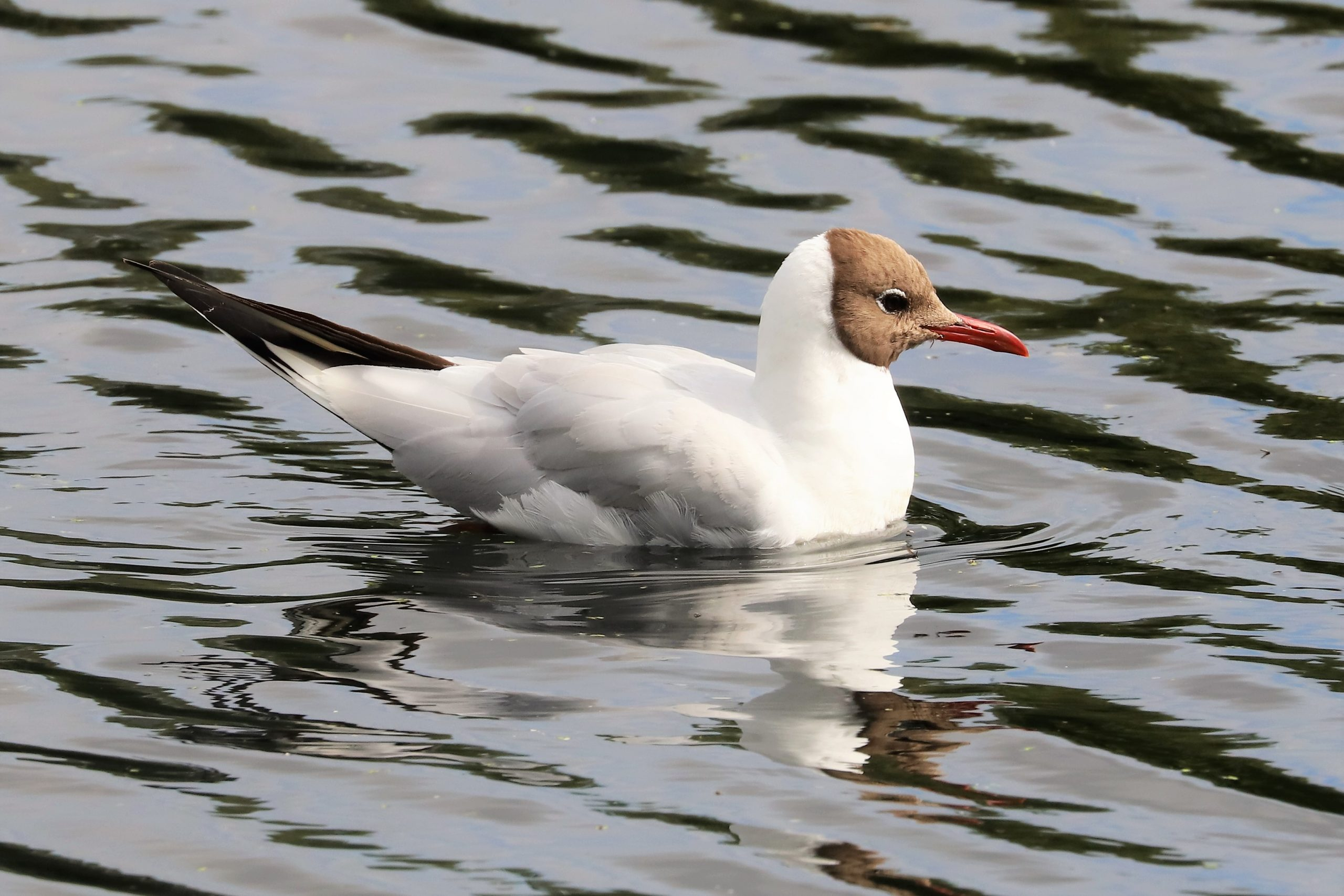 Black Headed Gull by Brian Cartwright 27th July Anton Lake
