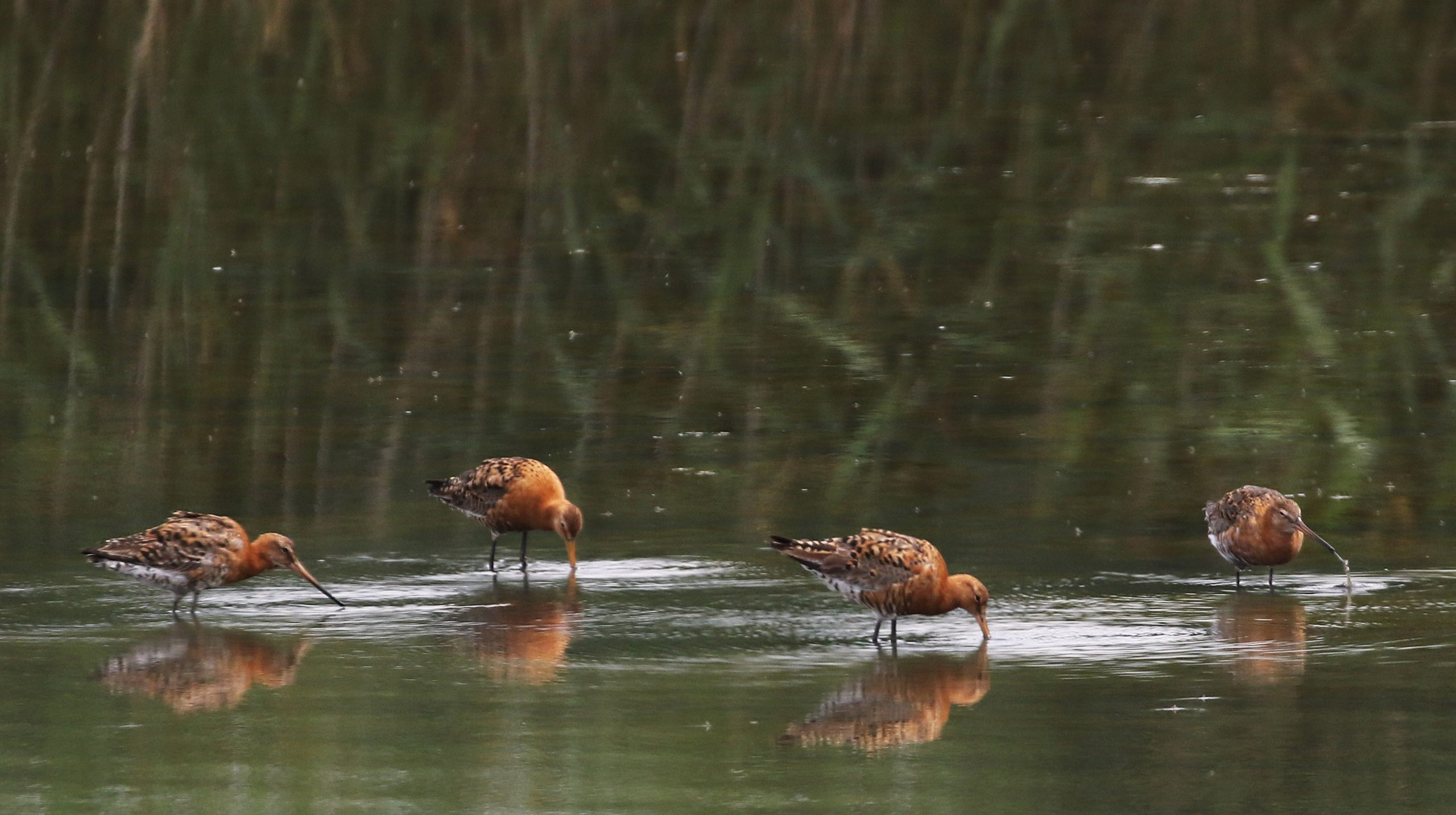 Black-tailed Godwits - Titchfield Haven 24th July Chris Rose