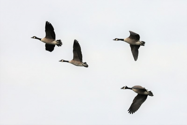 Canada Goose by Brian Cartwright 13th Aug Anton Lake