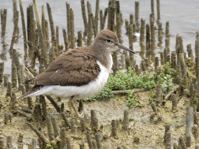 Common Sandpiper by Rob Porter-July 2nd, Titchfield Haven