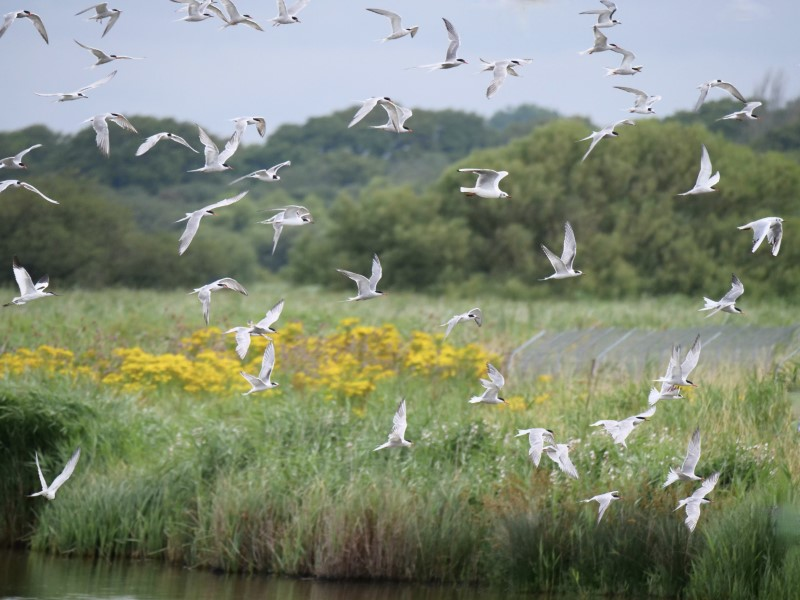 Common Terns by Rob Porter - Aug 2nd, Titchfield Haven