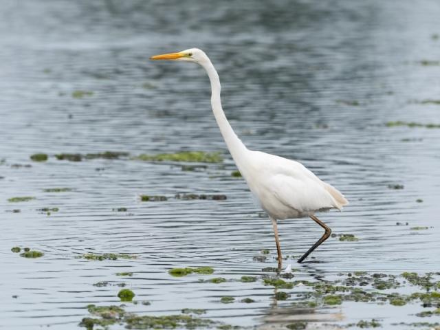 Great White Egret by Gareth Rees - 4th August, Sturt Pond-1