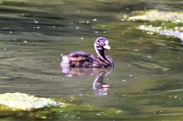 Little Grebe juv by Brian Cartwright 3rd Aug Anton Lake