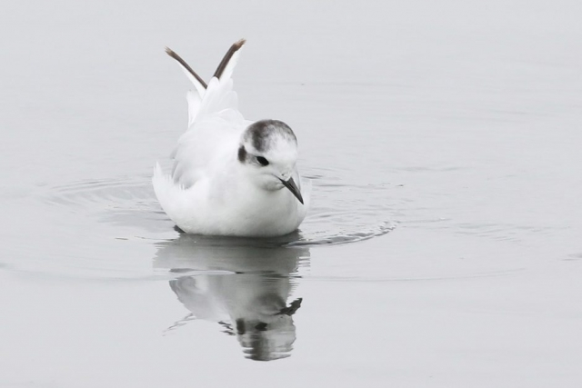Little Gull - Titchfield Haven 24th July Chris Rose (2)
